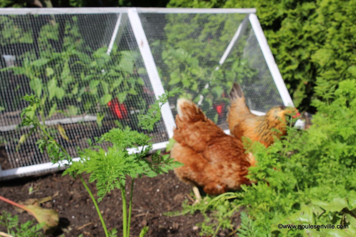 Jardiner avec des poules poules en ville - Poules en ville reglementation ...