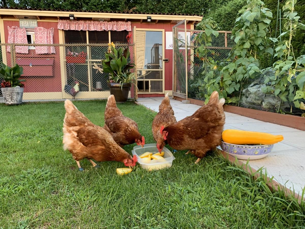 poules dans la cour