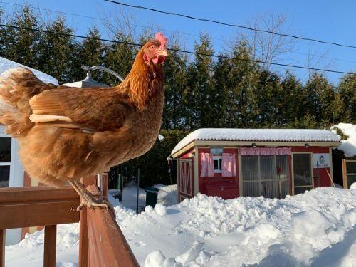 Poules en hiver