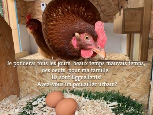 poules et ponte